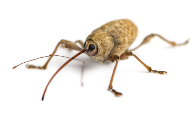 Weevil genius: Insect inspires stronger, more flexible materials