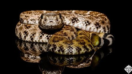 How rattlesnakes' scales help them sip rainwater from their bodies