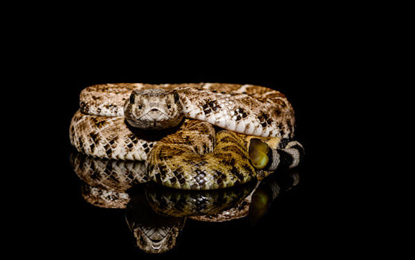 Study explains How Rattlesnakes Catch Rainwater On Their Backs