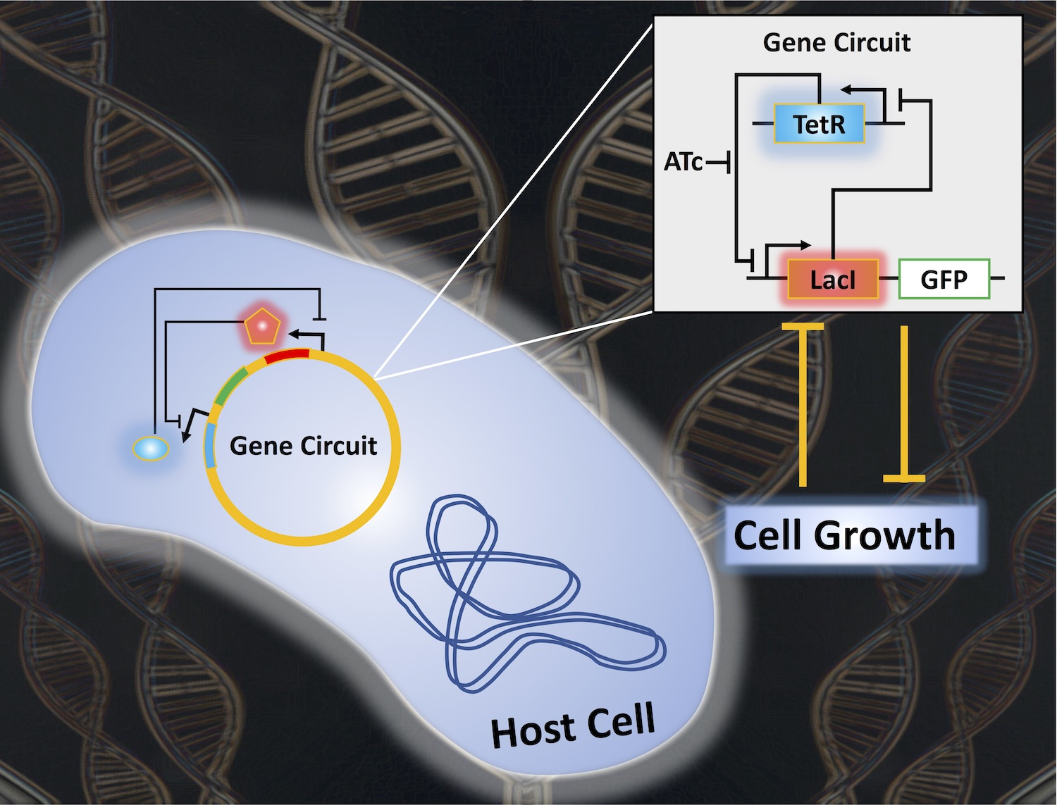 graphic depicting gene circuits