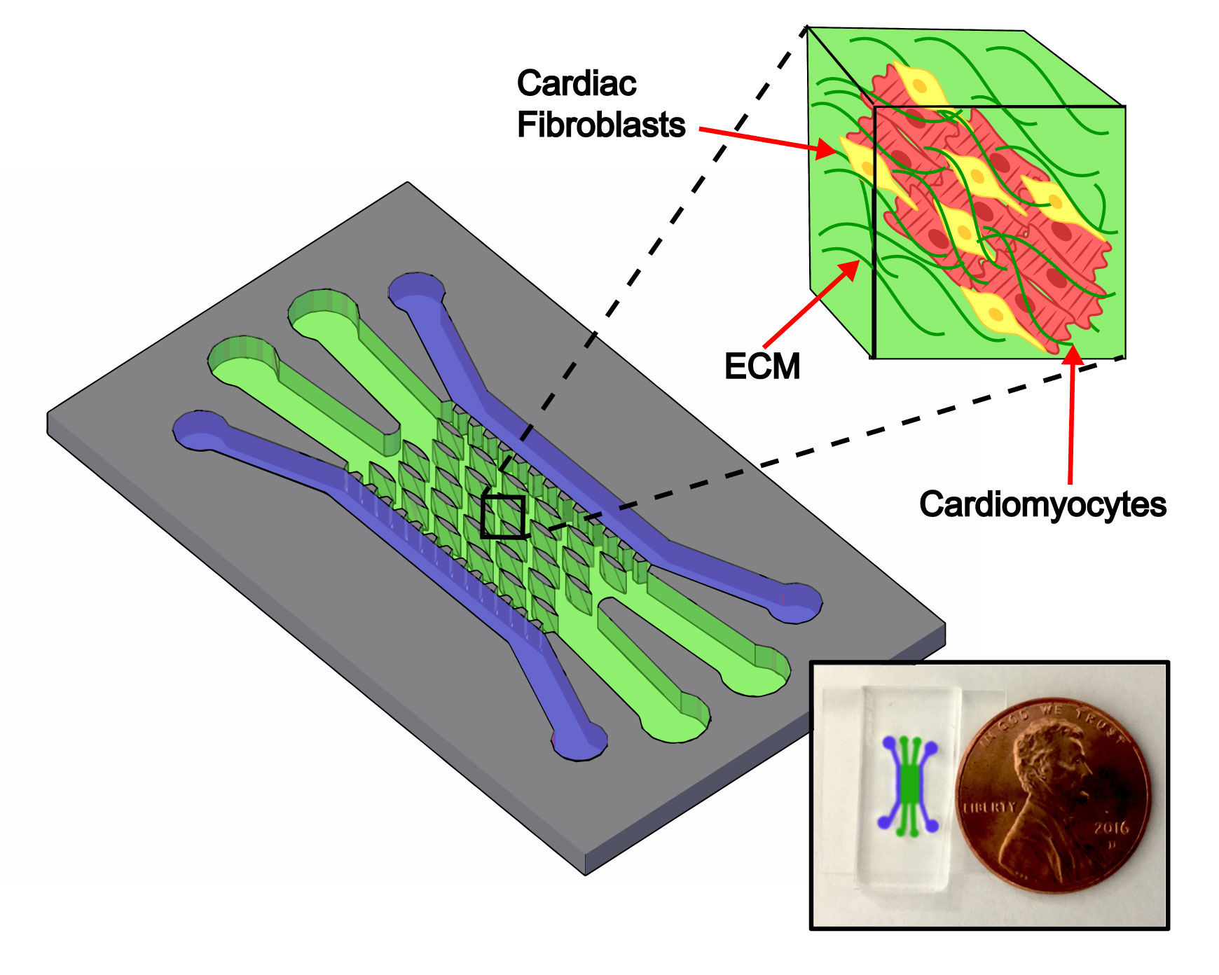 A graphic showing the Nikkhah Lab heart-on-a-chip platform's channel structure. Outer channels shown in purple are used to introduce cells and inner green channels are populated with elliptical microposts around which cells organize into tissues within an extracellular matrix.