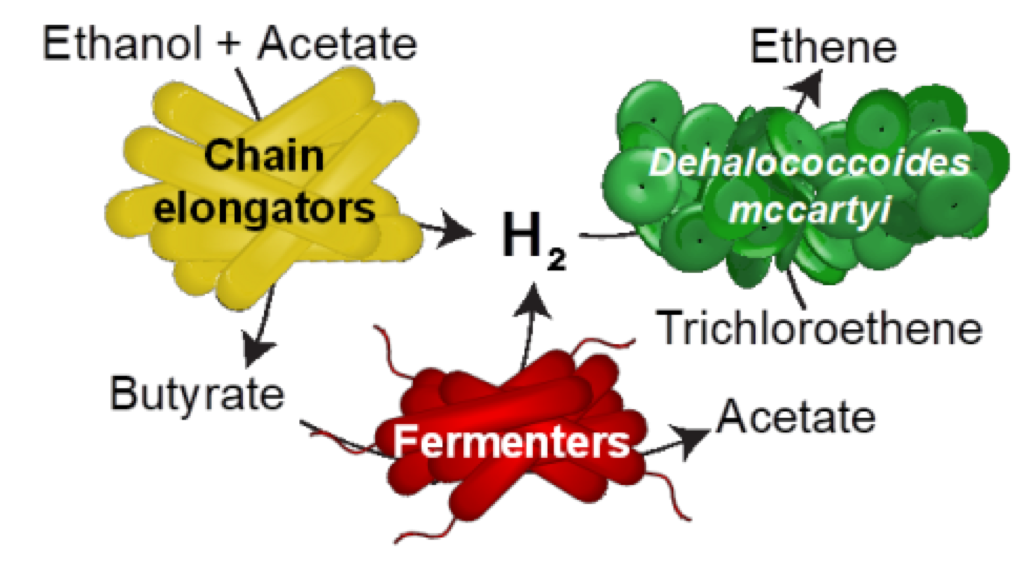 graphic depicting chain elongating and fermenting microorganisms provide hydrogen to bacterial strain