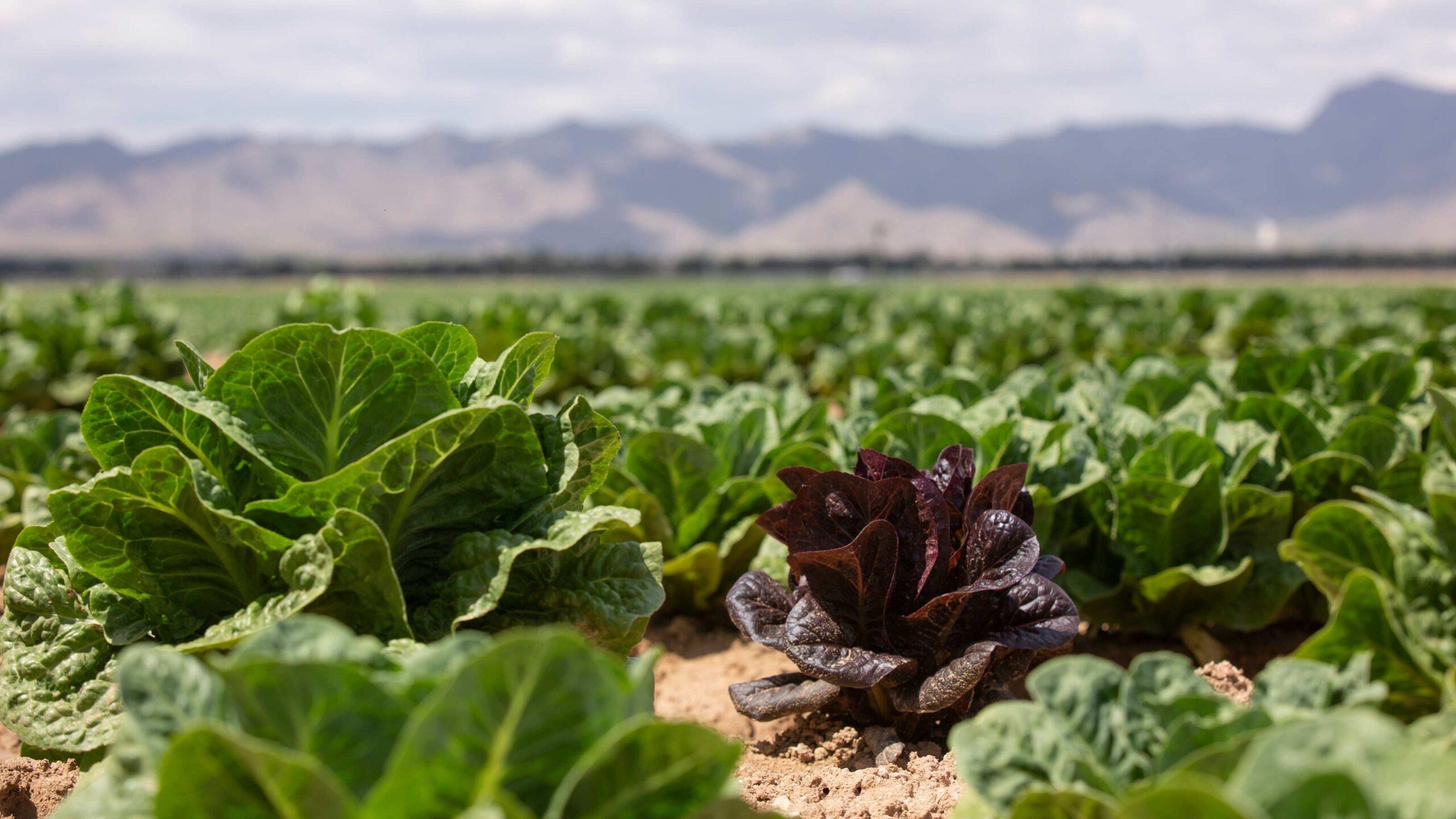 a field of lettuce growing in Arizona